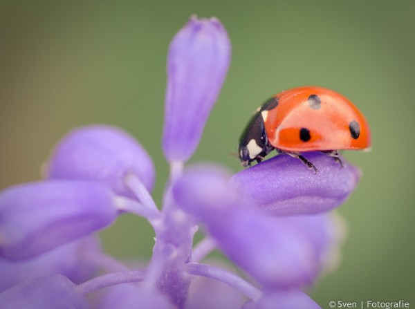 sven, fotografie, lente, lieveheersbeestje, Almere, tuin, macro