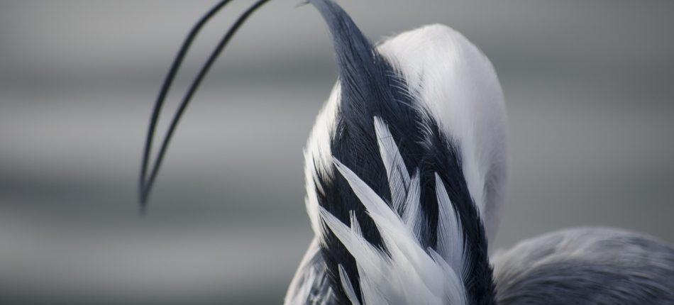 Staand op zijn brede voeten met dunne benen, vond deze reiger het wel prima in het pinguin verblijf. Hij was bezig zijn veren netjes en schoon te maken. Bij zijn hals waren een aantal scheven veren, terwijl hij daarmee bezig was, zag je prachtig de lange sliert op zijn kop.